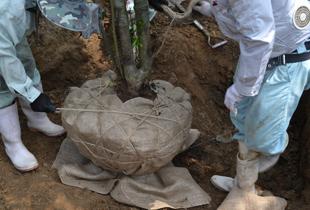 植木の入荷作業